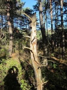 Scots pine snag