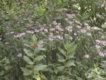 Native Plants; Bernard L. Schwartz